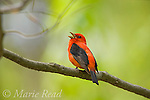 Scarlet Tanager (Piranga olivacea), male singing, Dryden, New York, USA