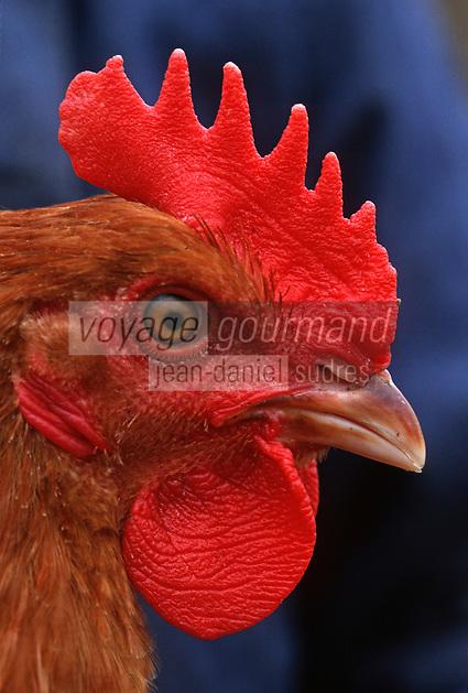 Europe/France/Bretagne/35/Ille-et-Vilaine/Janzé: Coq dans un élevage de poulets de Janzé