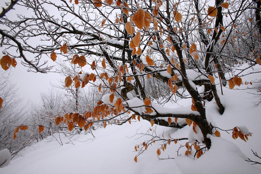 Common beech (Fagus sylvatica), Bieszczady National Park, Poland