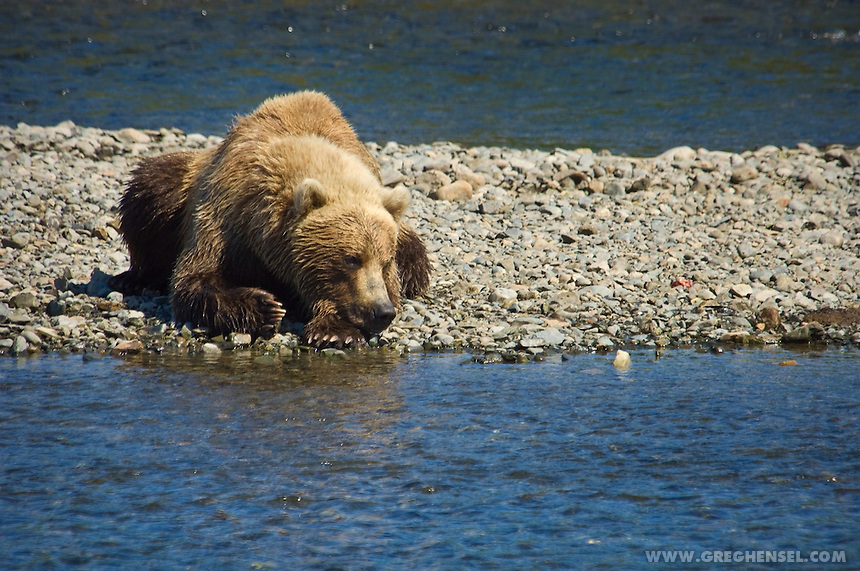 Grizzly Bear resting on a gravel bar at Mikfik Creek while waiting for Salmon. McNeil River Brown Sanctuary. Summer in Southwest Alaska.