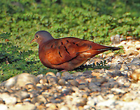 Eastern race adult male ruddy ground-dove