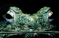 Close up of Hill Toad head and big eyes reflected in water.