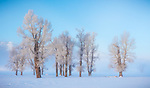 Yellowstone National Park, Wyoming/Montana: Morning light on cottonwood trees in the Lamar Valley in winter
