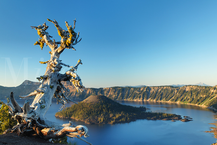Whitebark pine tree standing over Wizard Island and Crater Lake at dawn, Crater Lake National Park, Oregon, USA, North America