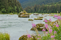 Fisherman and fireweed along the Chilkoot River, Haines, Alaska