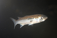 Gemeine Meeräsche, Flachköpfige Meeräsche, Meer-Äsche, Großkopfmeeräsche, Großkopf-Meeräsche, Gestreifte Meeräsche, Mugil cephalus, striped gray mullet, striped mullet, common grey mullet, flat-headed grey mullet, flathead mullet