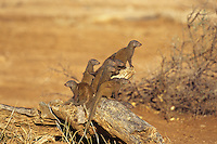 Dwarf Mongoose (Helogale parvula) Serengeti National Park, Tanzania.  Smallest African carnivore.  Lives in packs.