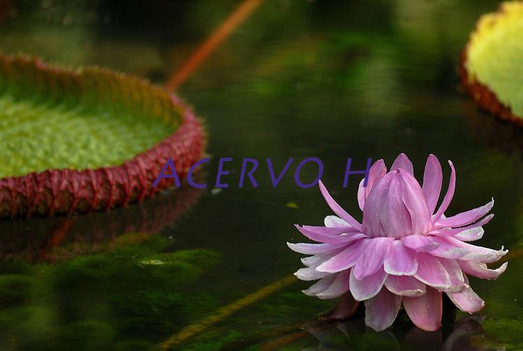 A vit&oacute;ria-r&eacute;gia ou vict&oacute;ria-r&eacute;gia (Victoria amazonica) &eacute; uma planta aqu&aacute;tica da fam&iacute;lia das Nymphaeaceae, t&iacute;pica da regi&atilde;o amaz&ocirc;nica. Ela possui uma grande folha em forma de c&iacute;rculo, que fica sobre a superf&iacute;cie da &aacute;gua, e pode chegar a ter at&eacute; 2,5 metros de di&acirc;metro e suportar at&eacute; 40 quilos se forem bem distruibu&iacute;dos em sua superf&iacute;cie. <br /> Outros nomes: irup&eacute; (guarani), uap&eacute;, aguap&eacute; (tupi), aguap&eacute;-ass&uacute;, ja&ccedil;an&atilde;, namp&eacute;, forno-de-ja&ccedil;an&atilde;, rainha-dos-lagos, milho-d'&aacute;gua e car&aacute;-d'&aacute;gua. Os ingleses que deram o nome Vit&oacute;ria em homenagem &agrave; rainha, quando o explorador alem&atilde;o a servi&ccedil;o da Coroa Brit&acirc;nica Robert Hermann Schomburgk levou suas sementes para os jardins do pal&aacute;cio ingl&ecirc;s. O suco extra&iacute;do de suas ra&iacute;zes &eacute; utilizado pelos &iacute;ndios como tintura negra para os cabelos. Tamb&eacute;m utilizada como folha sagrada nos rituais da cultura afro brasileira e denominado como Oxibata.<br /> Museu paraense Em&iacute;lio Goeldi<br /> Bel&eacute;m, Par&aacute;, Brasil<br /> Foto Paulo Santos/Interfoto<br /> 09/10/2008