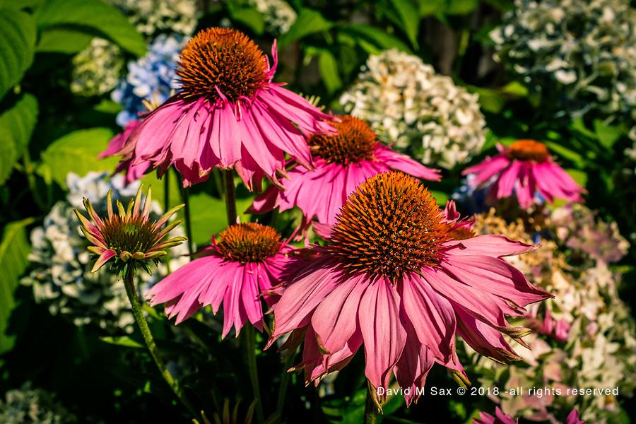 7.26.17 - Echinacea Revisited....