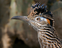 Portrait of a Greater Roadrunner (Geococcyx californianusz), with crest raised. Texas, USA.