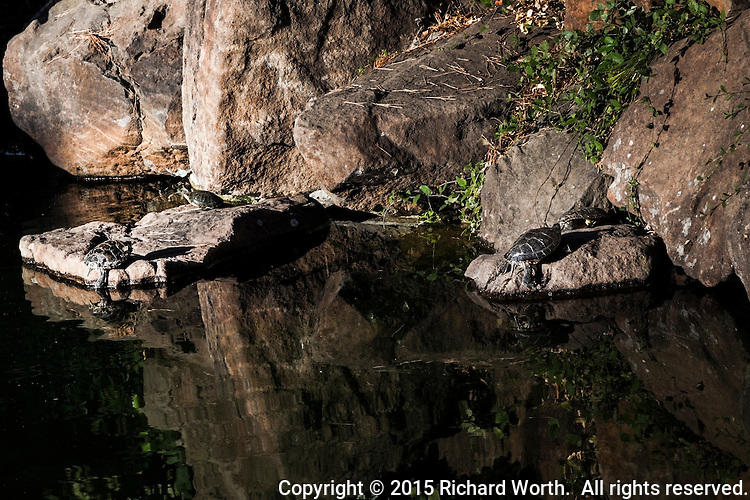 The pond's shoreline provides an uneven jagged boundry between real and reflected, accented by four turtles climbing onto the 'real' rocks.