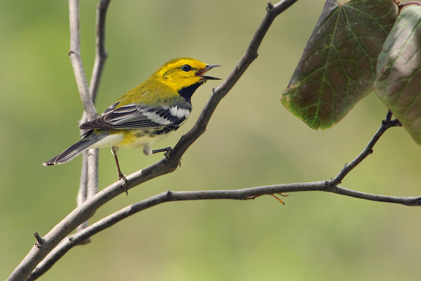 The diminutive Black-throated Green Warbler is one of those species jokingly referred to as having a name longer than itself..