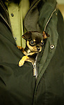 Chihuahua<br />