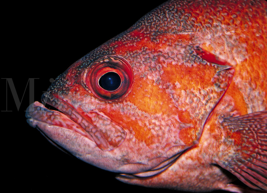 side view of the head and eyes of a rockfish. Monterey California, Monterey Bay Aquarium.