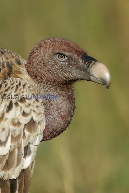 Ruppell's Griffon Vulture head and neck (Gyps rueppellii) Masai Mara, Kenya, Africa.