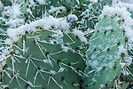 Prickly Pear cactus coated in snow.  Sedona, AZ.