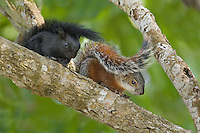 679310006 a wild pair of red-bellied squirrels sciurus aureogaste one of which is the black-color phase and one of which is the red-color phase sitting next to each other in a tall tree on a private ranch in tamaulipas state mexico