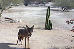 Coyote The coyote,canis latrans,also known as the American jackal or the prairie is a species of canine found throughout North and Central America,ranging from Panama in the south,north through Mexico,the United States and Canada. It occurs as far north as Alaska and all but the northern most portions of Canada.