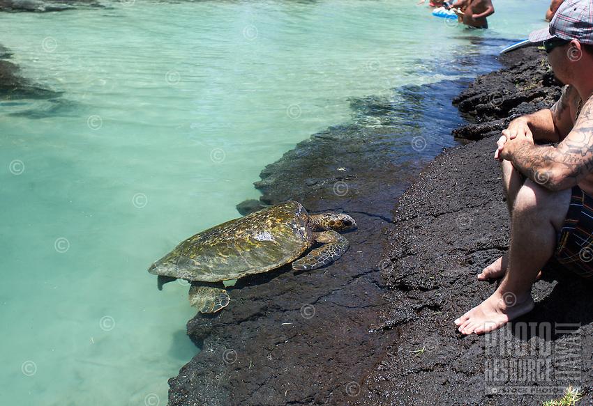 A turtle resting near people at Richardson Beach Park, Hilo, Big Island.