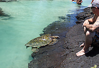 A turtle resting near people at Richardson Beach Park, Hilo, Big Island.