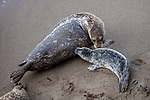 USA, California, Monterey, , harbor or Pacific common seals, Phoca vitulina richardsi
