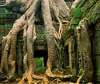 Strangler Figs Overtaking Ruins at Ta Prohm, Angkor Watt Archeological Park, Cambodia Built in 1186 left in unrestored state    Khmer Culture ruins in SE Asian jungle