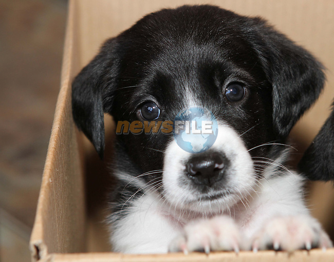 1 of 7 Labrador Collie pups (7 weeks old) that have just arrived at Collon Animal Santuary...Photo NEWSFILE/Jenny Matthews.