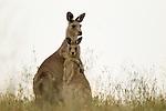 Eastern Grey Kangaroo (Macropus giganteus) mother hugging joey, Mount Taylor Nature Reserve, Canberra, Australian Capital Territory, Australia