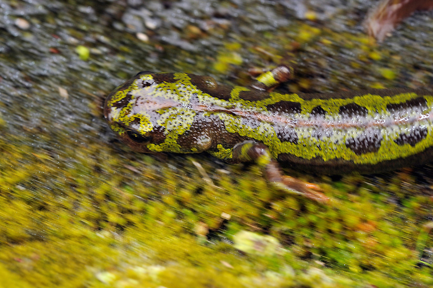 Marbled Newt, Triturus marmoratus<br /> Faia Brava and  C&ocirc;a valley Archaeological park,<br /> Portugal