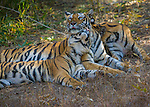 Bengal tiger and two second year cubs, Bandhavgarh National Park, India