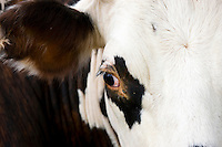 Close up of brown and white French Normandy cow in a meadow in the Dordogne area of France