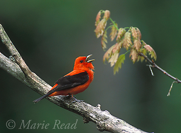 Scarlet Tanager (Piranga olivacea) male singing in spring, New York, USA<br /> Slide # B165-301