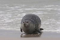 Seehund, Gemeiner See-Hund, Phoca vitulina, Common seal, Phoque veau marin