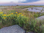 Blue Mounds State Park; Minnesota:<br /> Prairie sunflower (Helianthus petiolaris) flowers among outcropings of Sioux quartzite in a tallgrass prairie under an evening sky