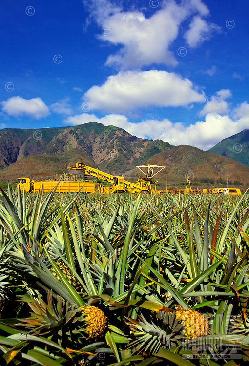 Ripe pineapples and a pineapple harvester in the background below the West Maui Mountains. Pineapples are still one of Maui's main agricultural products. Hand-planted crowns mature in 18 months in the center of a prickly bush.