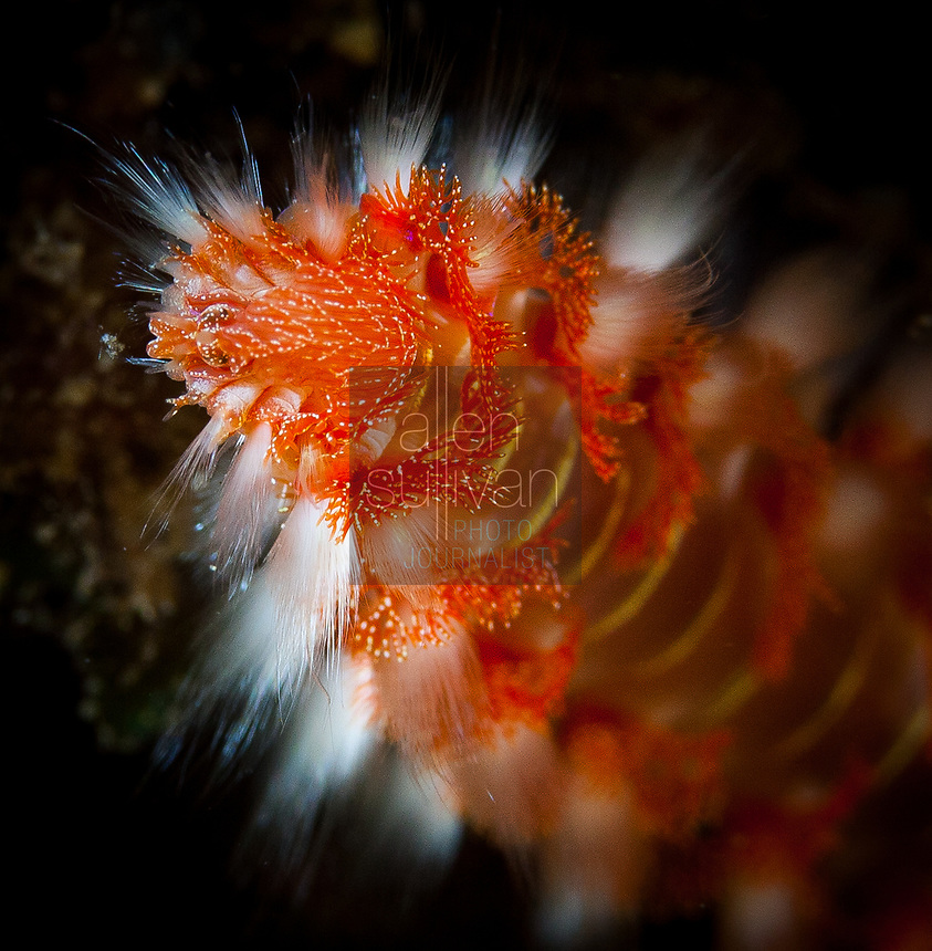 Close-up of bearded fireworm underwater on Roatan, Honduras; March 3, 2015.