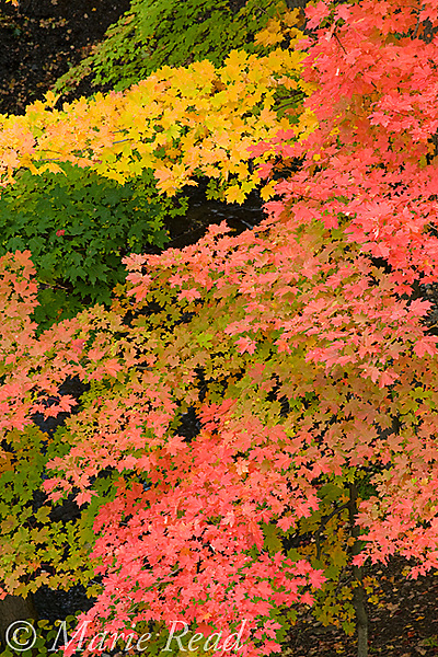 Fall foliage, North Chagrin Reservation, Ohio, USA