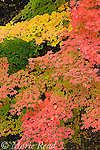 Fall foliage, North Chagrin Reservation, Ohio, USA