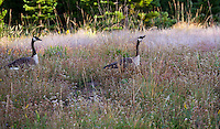 Canadian geese feeding on Needle Grass (Stipa) in California native plant meadow