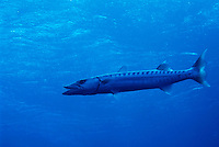 Great Barracuda swimming near Elphinstone Reef in the Red Sea, Egypt.