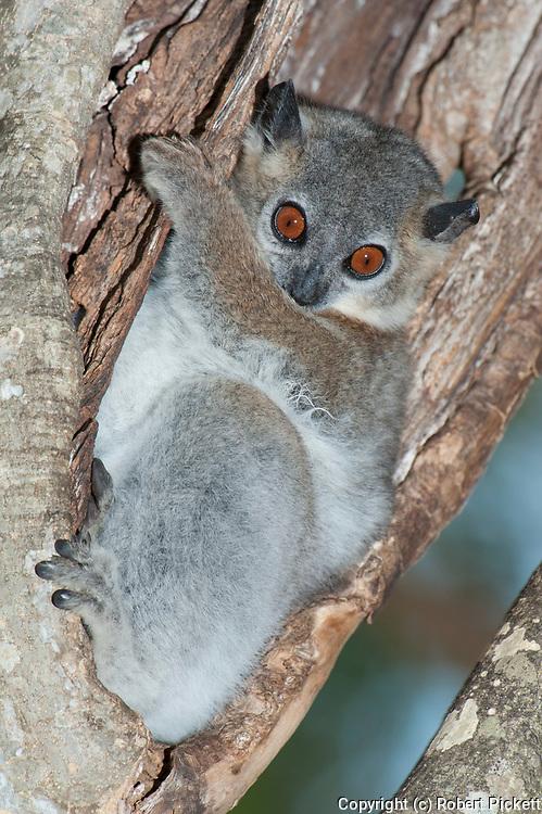 Lesser Weasel Lemur, Lepilemur ruficaudatus, Berenty National Park, Madagascar, sitting in tree, Red Tailed Sportive Lemur, Appendix I of CITES