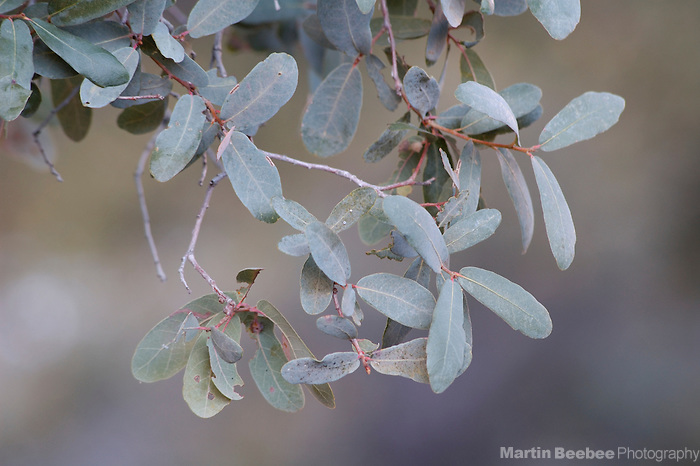 Leaves of Mexican blue oak (Quercus oblongifolia), Coronado National Forest, Arizona