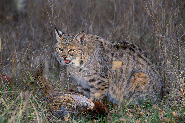 BOBCAT is found only in North America. Male seen here has just dropped a ringnecked pheasant. Summer. Rocky Mountains. (Felis rufus).