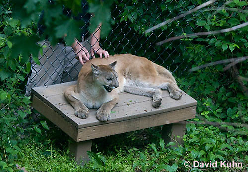 0501-0901  Human Zookeeper Petting Mountain Lion (Cougar) Through Fence, Puma concolor (syn. Felis concolor)  © David Kuhn/Dwight Kuhn Photography