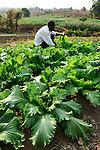 Malawi, Thyolo, NGO CARD Churches Action in Relief and Development, Bewaesserungssystem im Dorf Samuti, bewaessertes Feld, Farmer John Chimwaye, 56, bei Ernte von Salat