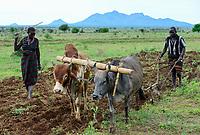 UGANDA, Karamoja, Kotido, Karamojong pastoral tribe, adoption of climate change, traditionally cattle herder change to farming / Karamojong Ethnie, traditionell Viehhirten, durch Anpassung an den Klimawandel Uebergang zur Landwirtschaft, Familie pfluegt ein Feld mit Kuehen in der Regenzeit