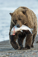 Female Brown Bear (Ursus arctos) hauls her Salmon catch out of the water.  She ate the fish in the tall grass bordering the beach.  Lake Clark National Park, Alaska.