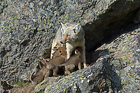 Wild Coyote (Canis latrans) nursing pups.  Western U.S., June.
