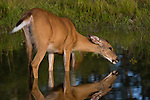 White-tailed (Odocoilesu virginianus) doe standing in a pond drinking water.  Summer.  Winter, WI.