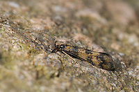 Grousewing Caddisfly - Mystacides longicornis